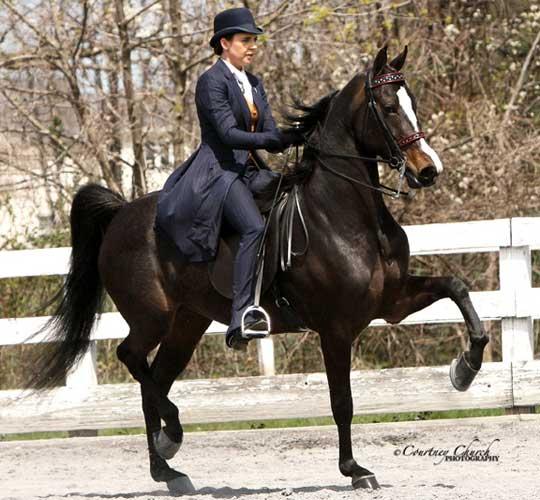 Morgan Horses | Ledyard Farms